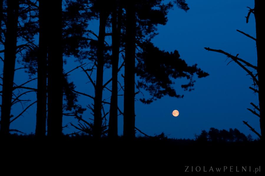 pełnia księżyca w lesie