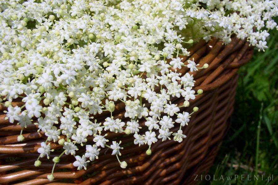 kwiaty bzu czarnego