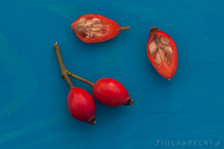 owoce róży dzikiej