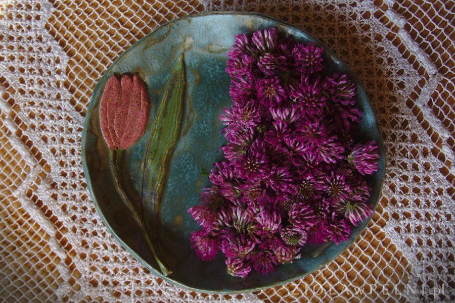 kwiatostany koniczyny łąkowej