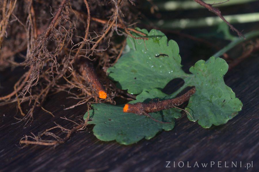korzeń glistnika jaskółczego ziela